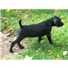 Black AKC German Shorthairs in Michigan Image