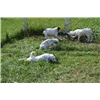 TOP Quality English Setter Puppies Image