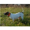 2 Year Old Male English Pointer Image