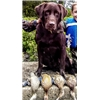 *** #1 DUCK DOGS - HUNTING RETRIEVERS *** Image