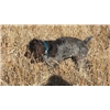 Started German Wirehair Female  Image