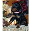 AKC Field Gordon Setter Pups Image