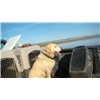 Well Started and experianced Gun dog Northern california. Image