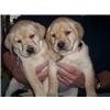 Labrador Pups for sale Image