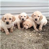 AKC and UKC registered Yellow Male Labradors Image