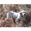 Male English Setter Image