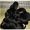 Field Gordon Setter puppies for sale Image