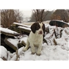 Field-bred English Springer Spaniel puppies Image