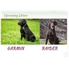 Litter Announcement-Champion Bloodline Labrador Retriever Puppies-Due Feb.14th Image