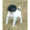 Black and white and solid black AKC champion line GSP pups Image