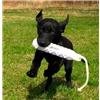 Awesome British/American Started Companion Gundog Image