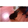waterfowl and upland trained boykin spaniel Image
