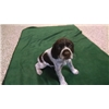 German Wirehaired Pointer Puppies For Sale Image