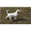 English Setter puppies for sale Image