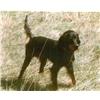 Gordon Setter pups Image