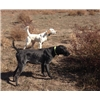 Trained and Experienced Gun Dogs For Sale Image