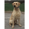 Trained Labradors Available Image