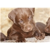 Champion Chocolate Lab Male Puppy-VERY STRONG PEDIGREE Image
