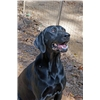 Over the Top Labrador Puppies-Great Pedigree on Dam and Sire Image