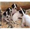 English Pointer Grouse Dogs Image