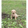 Pointing Labrador Retriever Pup Image