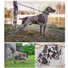 "Top AKC GSP Kennel's ""Super-Frau""  Whelped Champ Litter Father's Day! Image"