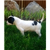 English Pointer Puppies - Strong Elhew Lines Image