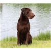 Trained Labradors For Sale Image