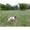 Female German Wirehaired Pointer For Sale.  Also other Pointing Dogs Available Image
