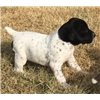 GERMAN SHORTHAIRED PUPPIES.   MASTER HUNTER SIRED  Parents Excellent Hunters Image