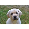 Quality AKC Yellow Labrador Retriever Puppies Image