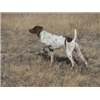 Very well started Gernan Shorthaired Pointers Image