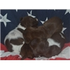 German Shorthaired Pointer Pups in CO Image