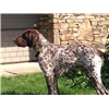 GSP Pups Outstanding Pedigrees Image