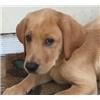 AKC Champion Pedigree Yellow/Foxred Labradors Image