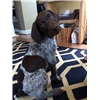 German Shorthaired Pointer Pups Image