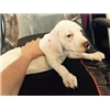 English Pointer puppies Image