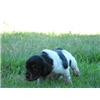 French Brittany Spaniel Pups - 3 new litters available Image