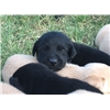 AKC Black Lab Pups Perfect for Hunting and Competition (East of Dallas) Image