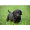 AKC Labrador Puppies Image