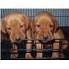 fox red pointing lab puppies for sale Image