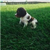 French Brittany Spaniel pups - Ready Now! Image