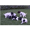 German Shorthair Pointer Pups Image