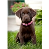 GMHRCH HRCH MH sired Chocolate and Black Lab pups Image