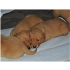 Purebred Fox Red Labradors For Sale Image