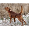 Field Irish Setters - pups and started dogs Image