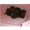 New Chesapeak bay Retriever litter Image