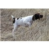 Otis - German Shorthaired Pointer Puppy Image