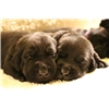 AKC BLACK LAB PUPS WITH CHAMPION BLOODLINES Image