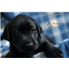 UKC/AKC Lab Puppies - Hunt Test/Field Trial /Upland Bloodlines Image